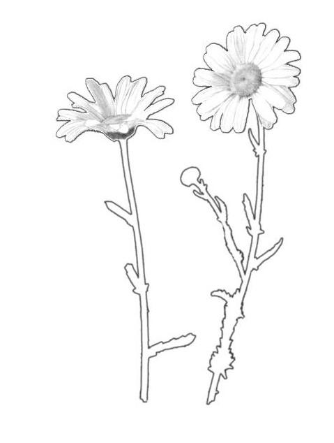 Coloriage et dessins gratuits Marguerite réaliste à imprimer