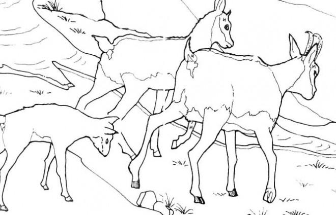 Coloriage et dessins gratuits Chèvres des montagnes à imprimer