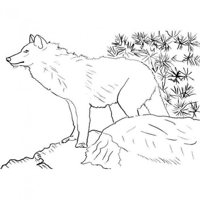 Coloriage et dessins gratuits Loup de Montagne à imprimer