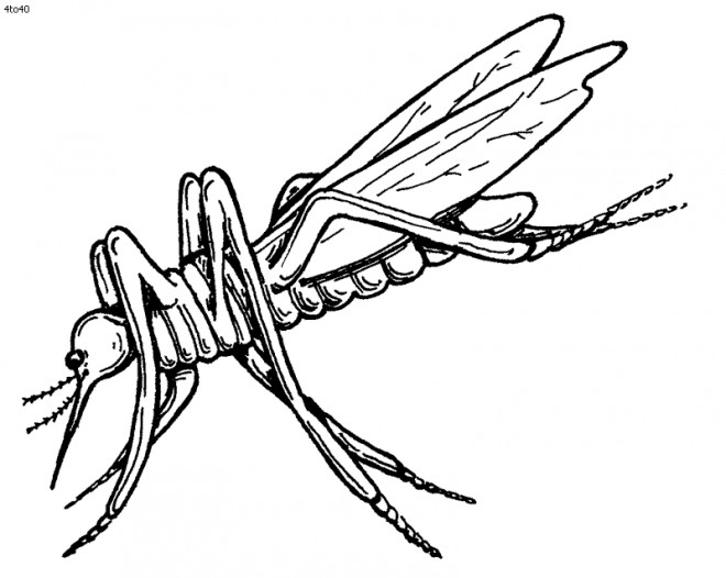 Coloriage et dessins gratuits Insecte Moustique réaliste à imprimer