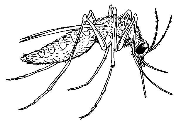 Coloriage et dessins gratuits Moustique vecteur de maladie à imprimer