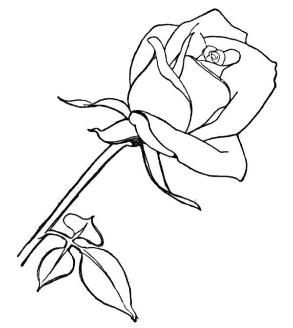 Coloriage image de rose rouge dessin gratuit imprimer - Dessin facile rose ...